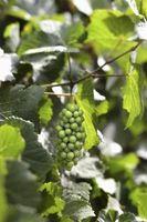 Cómo propagar la semilla de uva