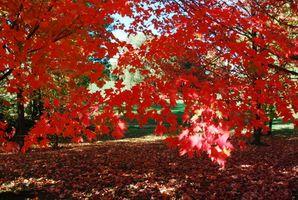 Identificación de Árbol de arce rojo
