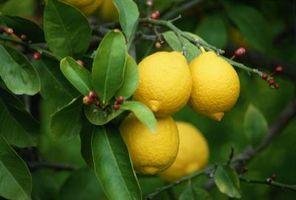 ¿Por qué son pegajosas hojas de mi árbol de limón?
