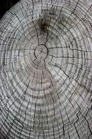 Como estudiar los anillos de árbol