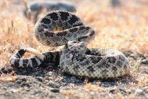 Los aceites esenciales que repelen las serpientes