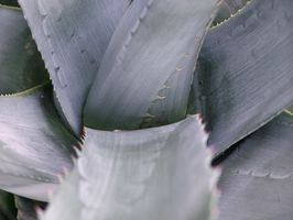 ¿Puede crecer plantas de Agave Azul en California?