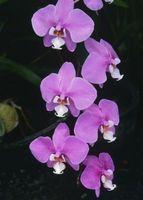 ¿Qué tan grande orquídeas consiguen?