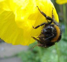 Cómo exterminar Nido de una abeja del manosear