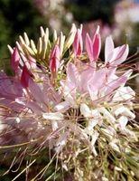 Es la flor de la araña una planta de néctar para las mariposas?