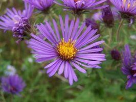 Una lista de plantas con flores púrpuras