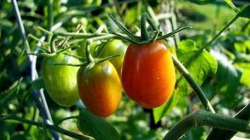 Cómo cultivar tomates en contenedores en Texas