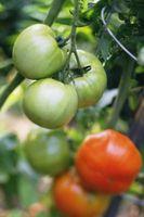 Anual vs. perennes tomates