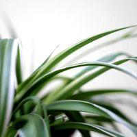 Cómo volver a plantar plantas de araña
