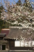Época del año para podar un árbol de ciruelo japonés