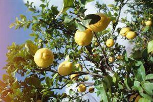 ¿Qué hacer para hormigas negras minúsculas en la corteza de árbol de limón