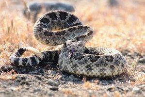 Plantas que repelen las serpientes de cascabel