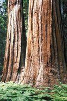 Sierra Redwood es una madera dura o blanda?