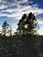Los árboles de pino para el oeste de Texas