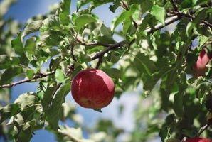 Cedar Apple Óxido en los manzanos