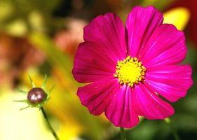 Información sobre el Cosmos Flores