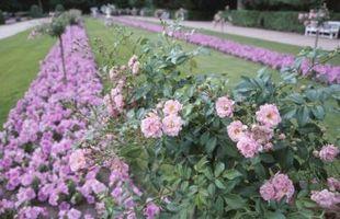 La mejor protección para los rosales en Alabama central