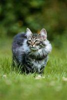 Coreopsis es tóxico para los gatos?