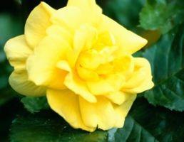 Cómo podar arbustos sin escalas Rose