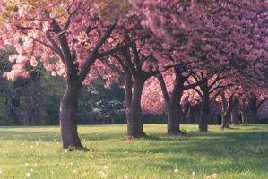 ¿Qué tan cerca a la Planta Árboles frutales para la poda