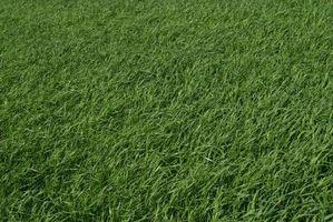 Cuidado de la nueva hierba y semillas