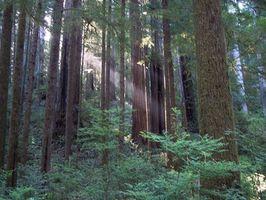 Cómo Teñir con aceite de Redwood