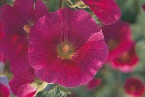 Tizón en rosa Espino