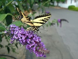 Crecimiento mariposa Bush
