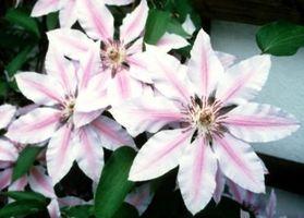 Mi Evergreen Clematis tiene hojas Brown