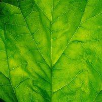 Pigmentos Vegetales encuentra en las espinacas
