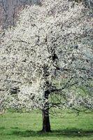 ¿Cómo hacer crecer Blanco Dogwood floreciente