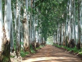 Tratamiento de Enfermedades árbol de eucalipto