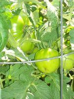 Lo que causa manchas negras en las plantas de tomate?