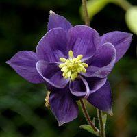 ¿Qué tipo de dispersión de semillas Do Columbine Flores Uso?