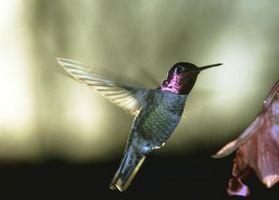 Las plantas enanas de California que atraen a los colibríes