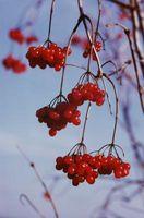 Pesticida natural para moscas de la fruta de la cereza