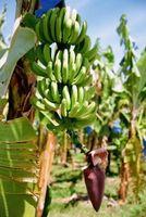 Las plantas de banano comestibles