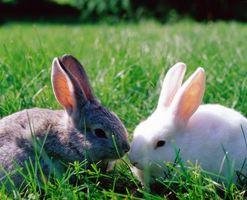 Son resistentes girasoles mexicanos conejo?