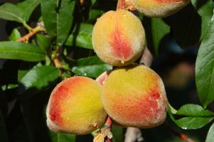Los mejores árboles de durazno para el noroeste de Florida