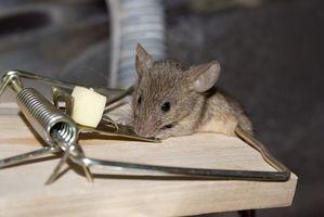 La mejor manera de configurar una trampa de ratón