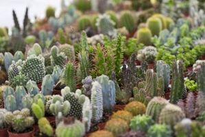 Las plantas en maceta Cactus