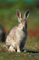 ¿Cómo los conejos Entrar en yardas con vallas eslabón de la cadena que les rodea?