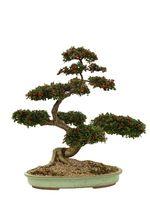¿Cómo hacer crecer árboles bonsai de pino
