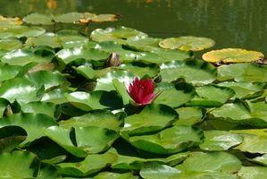 Las plantas acuáticas para estanques al aire libre