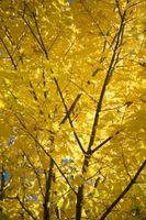 La importancia ecológica de azúcar de arce árboles
