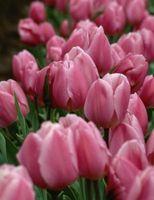 La temperatura y el crecimiento de los tulipanes