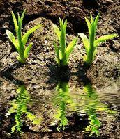 La secuencia de pasos desde la semilla hasta la planta
