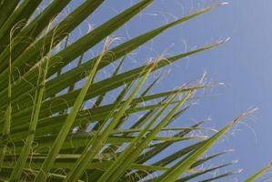 Nombres botánicos de las palmeras
