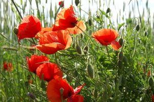 Cuando sembrar semillas de amapola
