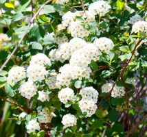Cómo podar un arbusto del Viburnum la bola de nieve